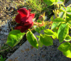 First Red Rose 2014-05-13