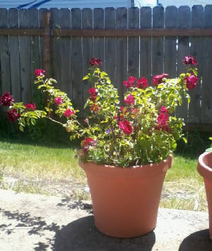 Psyche's Roses-2014-05-21