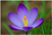 when-the-crocuses-bloomed-1.jpg
