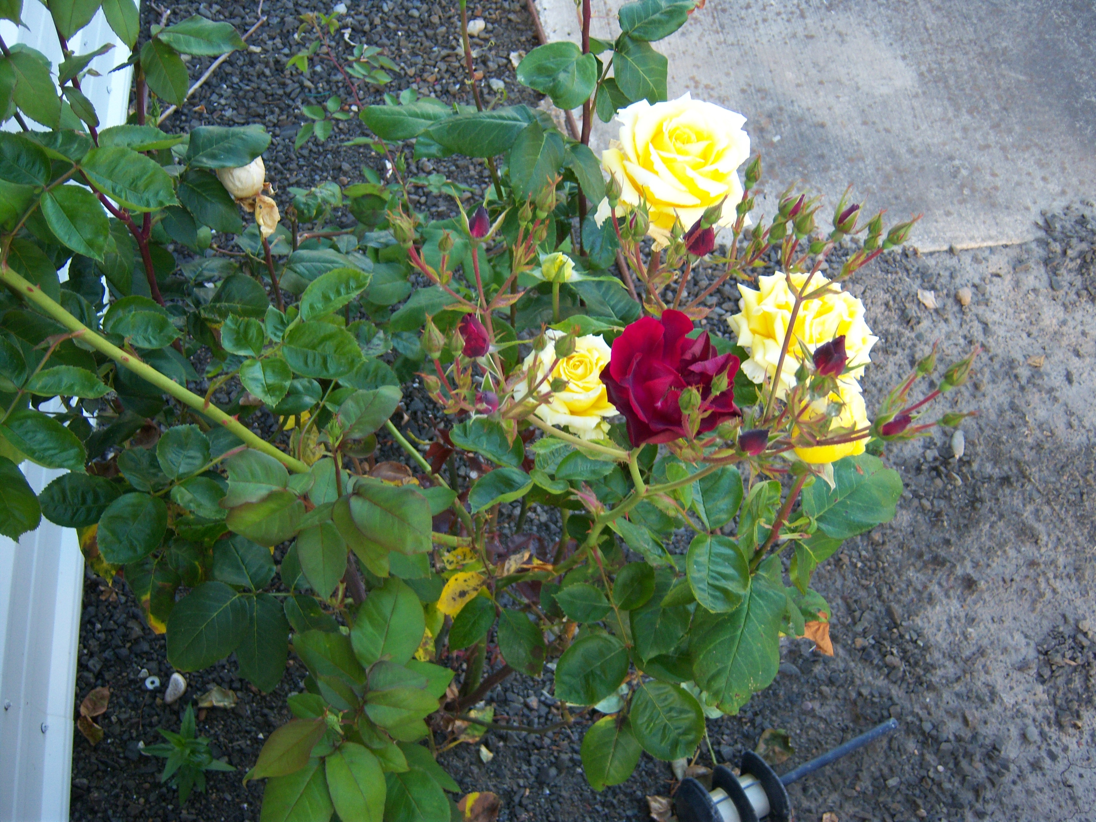 webassets/red-yellow-roses-2011.jpg